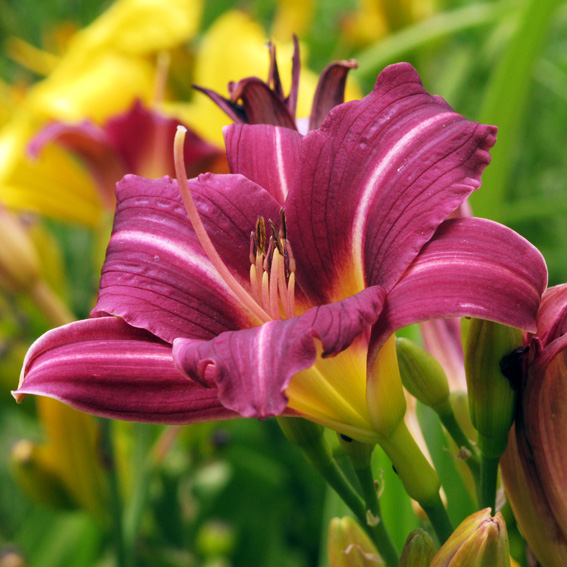 Hemerocallis 'Mary Reed'2